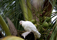 Hainan - White Pigeons in Coconut Palms