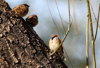 Sparrows  -  by EF 400mm f/2.8L IS II  and  EOS 1D X