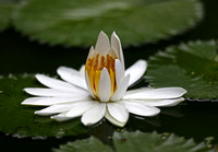 Singapore - White Waterlilies and a Blue Damselfly