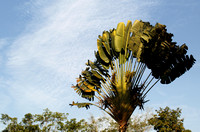 Yunnan - Ravenala madagascariensis (Traveler's Palm)