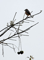 Yunnan - Lanius schach (Long-Tailed Shrike) in Xishuangbanna