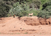 Samburu — Two Lionesses on the Opposite Bank