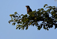 Macau - Acridotheres cristatellus (Crested Myna)