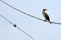 Mai Po - Phalacrocorax carbo on a Cable