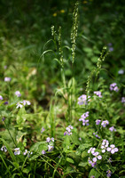 Orychophragmus violaceus and Grass Seed Stalks