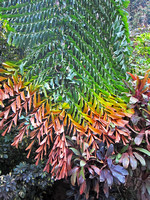Yunnan - Multi-Colored Caryota