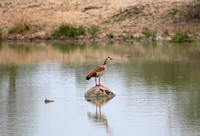 Leopard Hills — Egyptian Goose