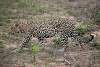 Leopard Hills — Leopard on the Move