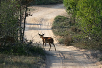 Two Nyala by a Dusty Track