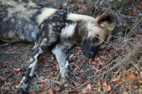 Leopard Hills — Resting Wild Dogs