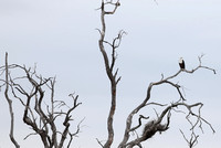 Leopard Hills — African Fish Eagle