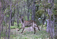 Running Waterbuck