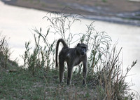 Leopard Hills — Chacma Baboons
