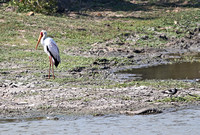Stork and Plover