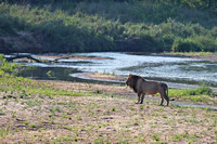 Male Lion Beside the Sand River