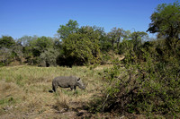 Dry Riverbed with Tall Grass and White Rhino