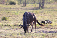 Wildebeest Symmetry