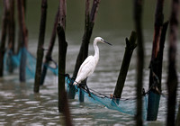 Fujian - Drenched Egret on a Net