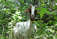 Forest Goat