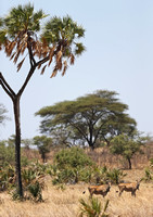 Doum Palm and Elands