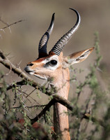 Male Gerenuk in Samburu National Reserve