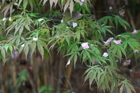 Cherry Petals on Acer Foliage