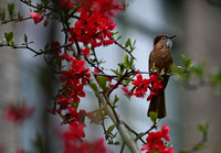 Mountain Bulbul at the North Campus