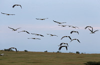 White Storks Flying