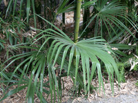 Fan Palm and Bamboo