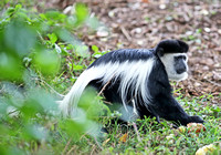 Enter the Colobus