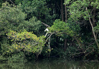 Singapore - Egret in a Mangrove
