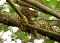 "Singapore - Callosciurus notatus ""Plantain Squirrel"""