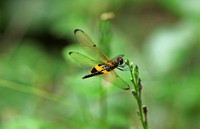 Singapore - Rhyothemis phyllis (Yellow-Barred Flutterer)