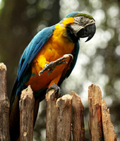 "Singapore - Ara ararauna ""Blue and Gold Macaw"""