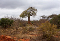 Tsavo West — Baobab with Raptor Nests