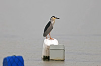 Fujian - Nycticorax nycticorax in the Bay