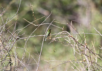 Little Bee-eater in Meru
