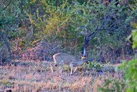 Glimpse of a Grey Duiker