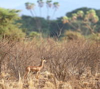 Doum Palms with Male Gerenuk