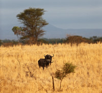 African Buffalo Pair in Dry Grass