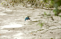 "Singapore - Todiramphus chloris ""Collared Kingfisher"""