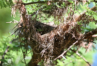 Nest in an Acacia