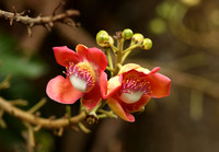 Singapore - Couroupita guianensis in National Botanic Gardens