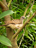 "Singapore - Phaps chalcoptera ""Common Bronzewing"""