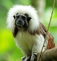 Singapore Zoo - Saguinus oedipus (Cotton-Top Tamarin)
