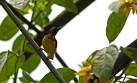 Singapore - Brown-Backed Sunbird in a Vine's Shade