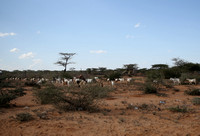 Goats on Red Soil