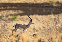 Solitary Male Grant's Gazelle
