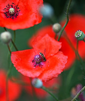 Poppies with Guest