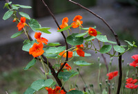 Red-Orange Nasturtium